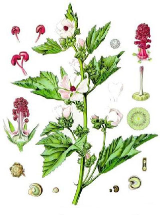 Алтей лекарственный - Althaea officinalis L.