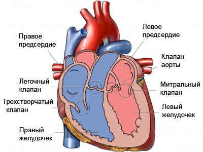 сердце-разрез
