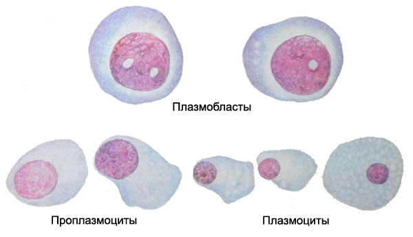 трансформация в-лимфоцитов в плазматические клетки одежки для